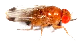 muszka plamoskrzydła Drosophila suzuki